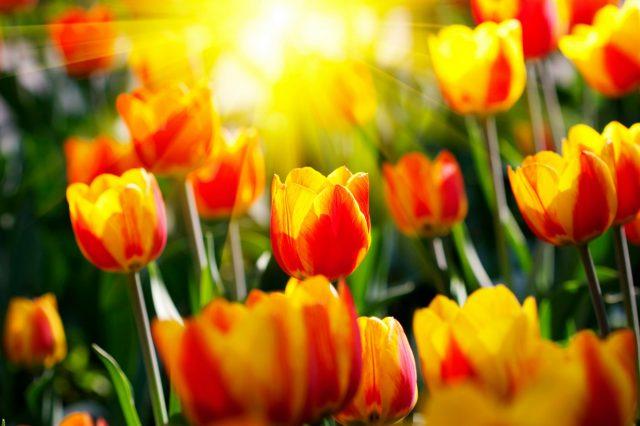 hình ảnh hoa tulip dep