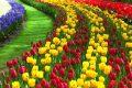 Loạt hình ảnh hoa Tulip đẹp cho hình nền máy tính, điện thoại