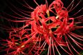 [BST] Hình ảnh hoa Bỉ Ngạn đẹp nhất thế giới khiến bạn đắm say